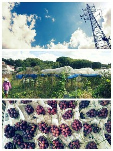 體驗收割葡萄
